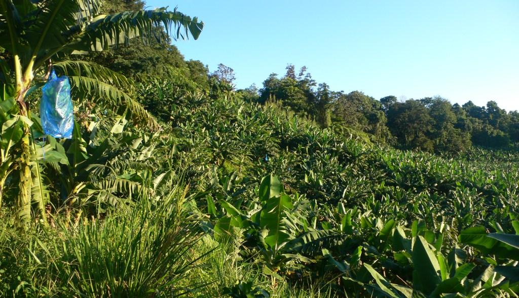 bananeraie en montagne