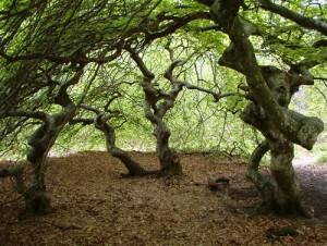 Faux de Verzy en forêt